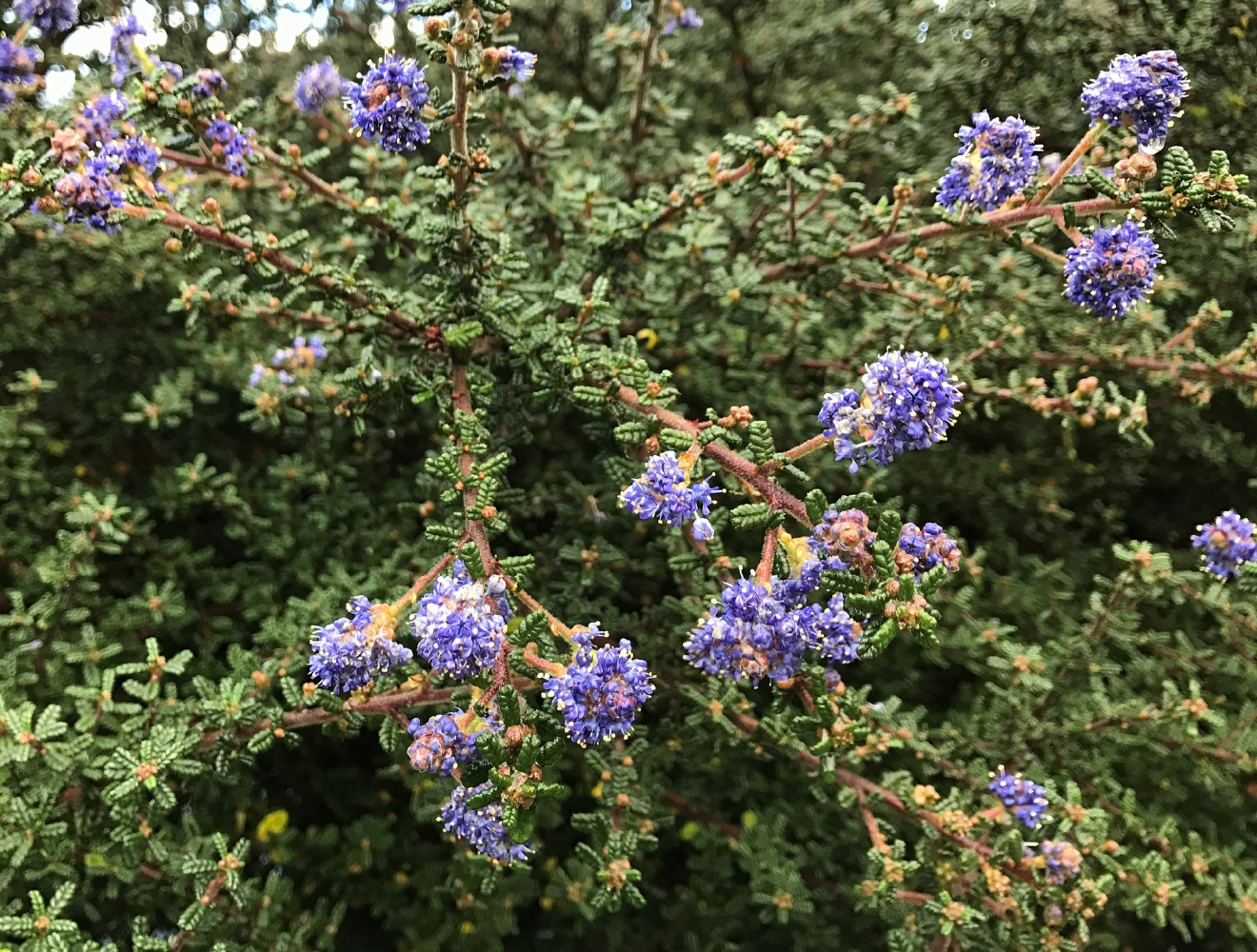 Fall flowering is unheard of for spring-blooming Ceanothus. Photo by Neil Bell.