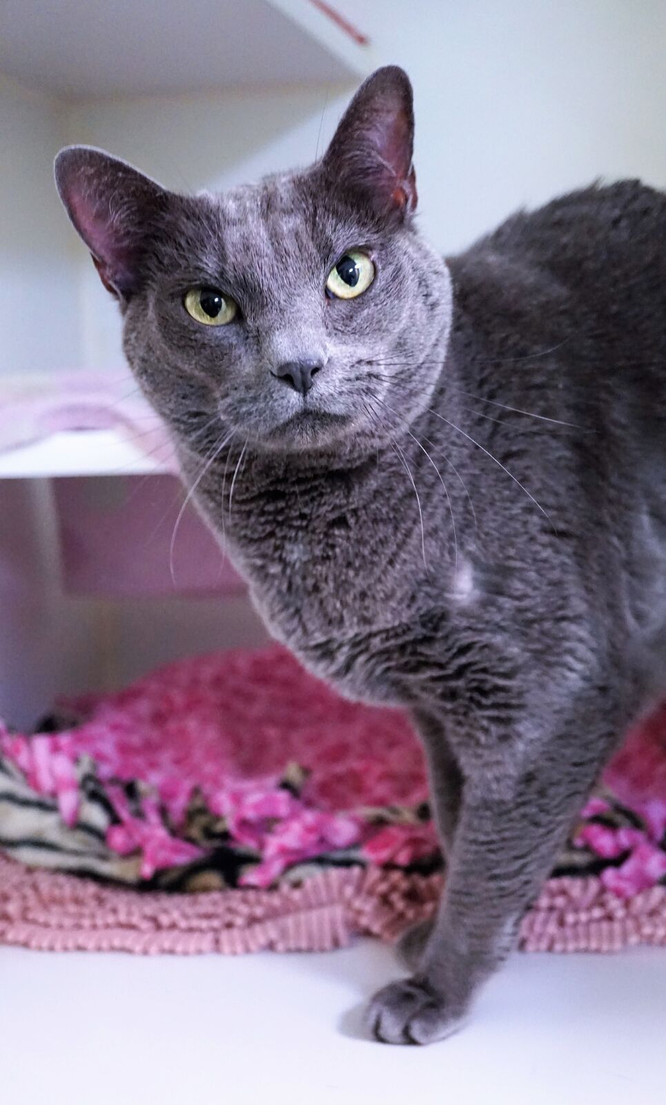 Hi there, my name is Majesty! I'm a lovely, six year old domestic shorthaired girl hoping to go home with you! I'd love to be your queen bee companion and I promise to reward you tenfold with love and loyalty. A quiet home where I can spend my days sleeping on a warm bed and bird-watching out the window would make me the happiest girl – I'll even climb in your lap when I want to. Sound like a match?{&amp;nbsp;}{&amp;nbsp;}<p></p>