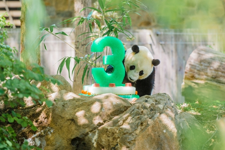Bao Bao's third birthday - August 23, 2016. (Image courtesy of Jim and Pam Jenkins, Smithsonian's National Zoo)
