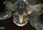 OCAq - Turtle - Nose.jpg