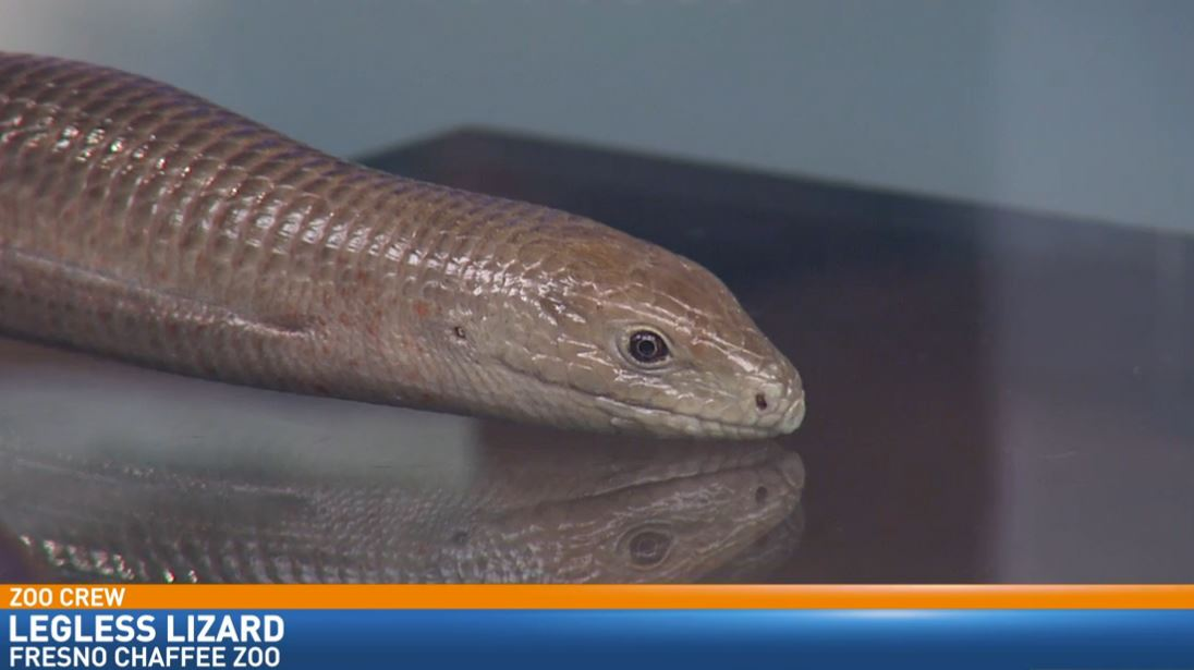 Zookeeper Ryan Gruber visited Great Day with a legless lizard