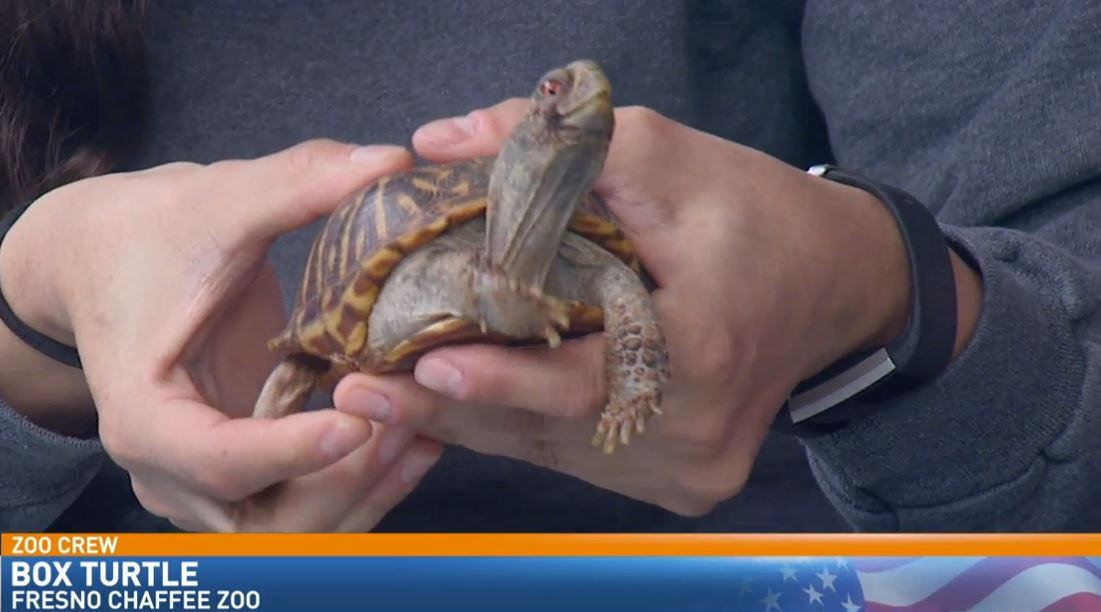 Zookeeper Melissa Rubinow visited Great Day with an Ornate Box Turtle.