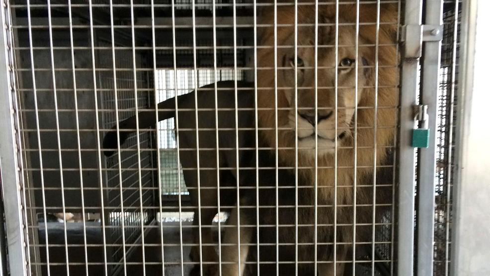 Authorities find lions tigers leopard in arkansas barn for Arkansas game and fish license