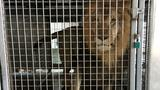 Authorities find lions, tigers, leopard in Arkansas barn