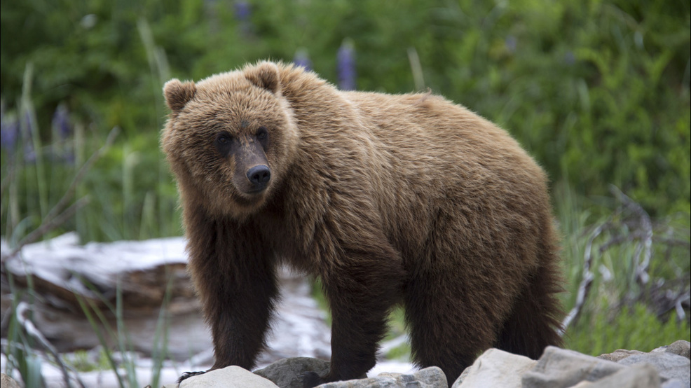 Bear Cubs Kill Worker At Remote Silver Mine Owned By Idaho Company Kboi
