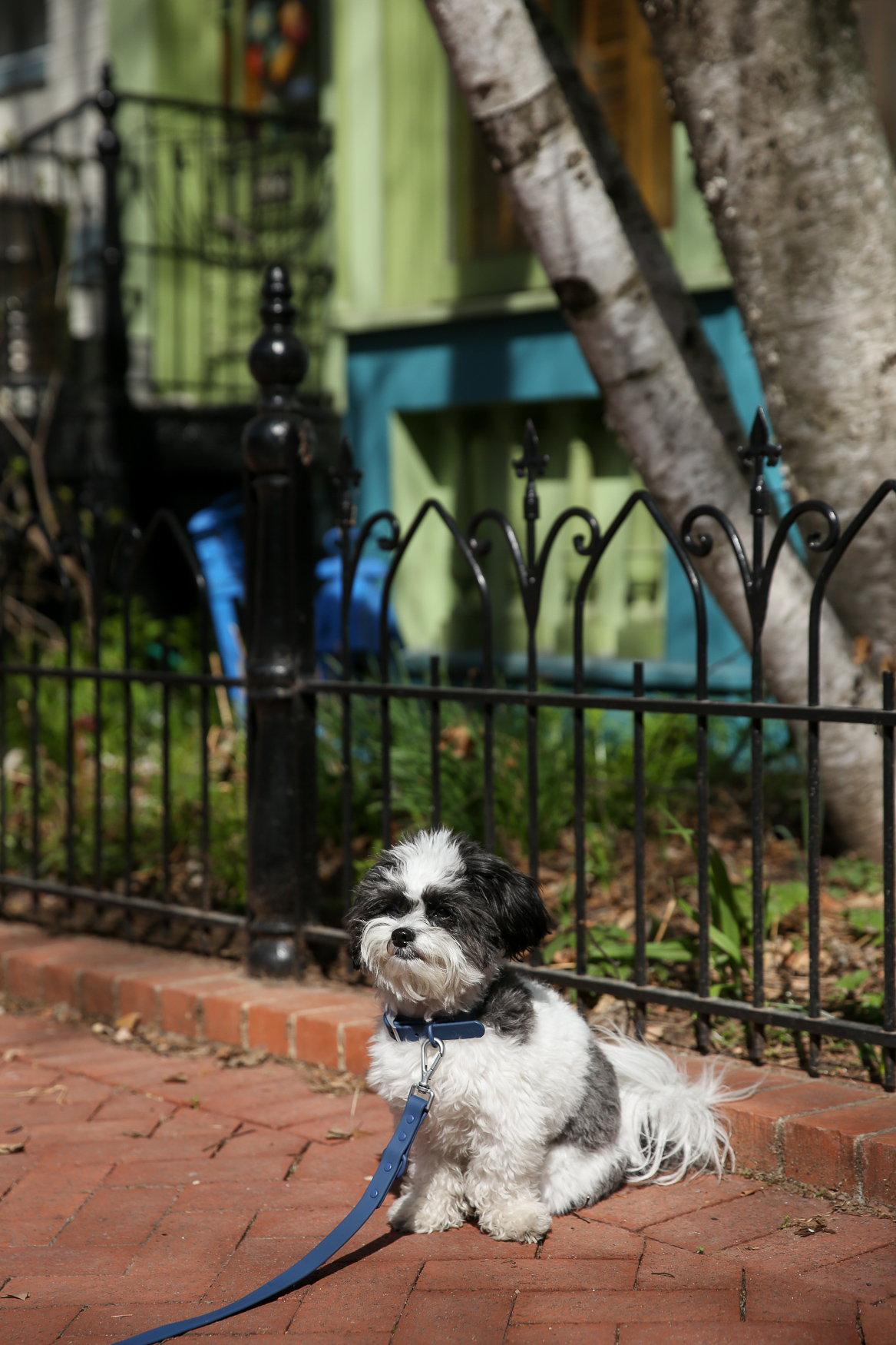 "Meet Otis, a 1.5-year-old Yorkie Poo, who was adopted in November 2017 through Carolina Canine Rescue. Otis loves to cuddle with his mom, wrestle and play fetch with his dad, and explore the city. He loves other dogs, but gets nervous if they're too big, and he's shy around new people, but warms up once he gets to know them. He loves to be outside and play in the grass -- he's a big time explorer and investigates everything around him. He also loves his fuzzy blanket. Though his pawrents say everyday with Otis is a great memory, one of their favorites was a vacation to Vermont. ""We went kayaking, played outside, and enjoyed the warm weather and outdoors so much that when it was time to get in the car and leave, we had to chase Otis around the yard for 20 full minutes to catch him,"" his mom said. ""He loved playing outside so much that he didn't want to leave!"" You can follow all of Otis' adventures on Instagram at @otistheyorkiepoo. If you're interested in having your pup featured, drop us a line at aandrade@dcrefined.com, but we do have quite the waiting list right now so we appreciate your patience! (Image: Amanda Andrade-Rhoades/DC Refined)"