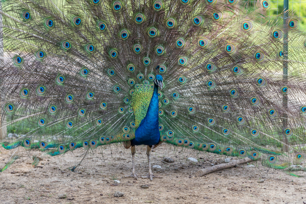One of the Cincinnati Zoo's retired peacocks greets guests at the farm. / Image: Mike Menke // Published: 6.6.19