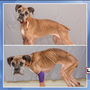 Emaciated dog progressing through recovery, gained 20 lbs. in 2 weeks