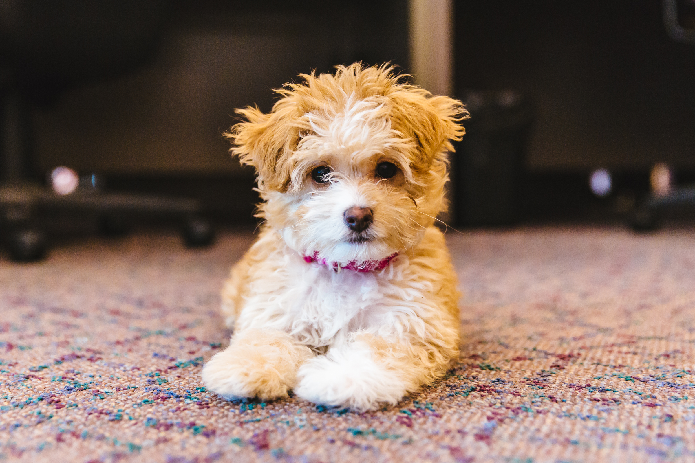 Meet Willow the Maltipoo Chiweenie Mix. Doesn't she look like the dreamiest little fluff you've ever seen?! Well she is. Her puppy snuggles are out of this world. Willow is only four months old and is the baby of Nicole who works here at KOMO! Nicole adopted Willow from a local breeder here in Seattle. Willow loves going for walks, picking up leaves to carry around, the beach, digging in the sand, playing with her older sister Maggie, her toys, playing fetch, cuddling, meeting new people and dogs, treats, and peanut butter! She dislikes baths (but loves hair dyers), and hates it when Maggie doesn't want to play.  The Seattle RUFFined Spotlight is a weekly profile of local pets living and loving life in the PNW. If you or someone you know has a pet you'd like featured, email us at hello@seattlerefined.com or tag #SeattleRUFFined and your furbaby could be the next spotlighted! (Image: Sunita Martini / Seattle Refined)