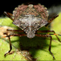 Stinkbugs invading mid-Michigan