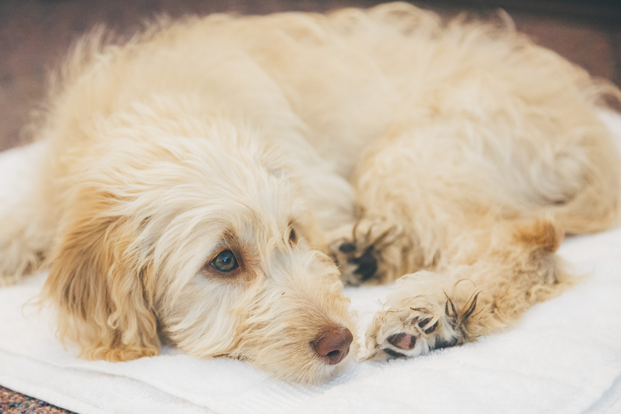 This is a very, VERY special week on RUFFined. Meet this special boy, Loki. Loki is our lovely TV host, Gaard Swanson's, latest newborn. Yes, Gaard is a new father! Loki is a three-month-old Goldendoodle who may or may not be the sweetest angel to have ever graced this earth. He may be young, but the Swanson's have already trained that brilliant pooch several tricks and is incredibly well behaved. I personally think they should change his name to Noodle, because he wiggles and army crawls around like an overcooked fettuccine noodle. Loki likes egg whites, his blanket and stealing his neighbor dog's food. He dislikes staring contests with his dad, dried kibble and raccoons.{ }The Seattle RUFFined Spotlight is a weekly profile of local pets living and loving life in the PNW. If you or someone you know has a pet you'd like featured, email us at hello@seattlerefined.com or tag #SeattleRUFFined and your furbaby could be the next spotlighted! (Image: Sunita Martini / Seattle Refined).