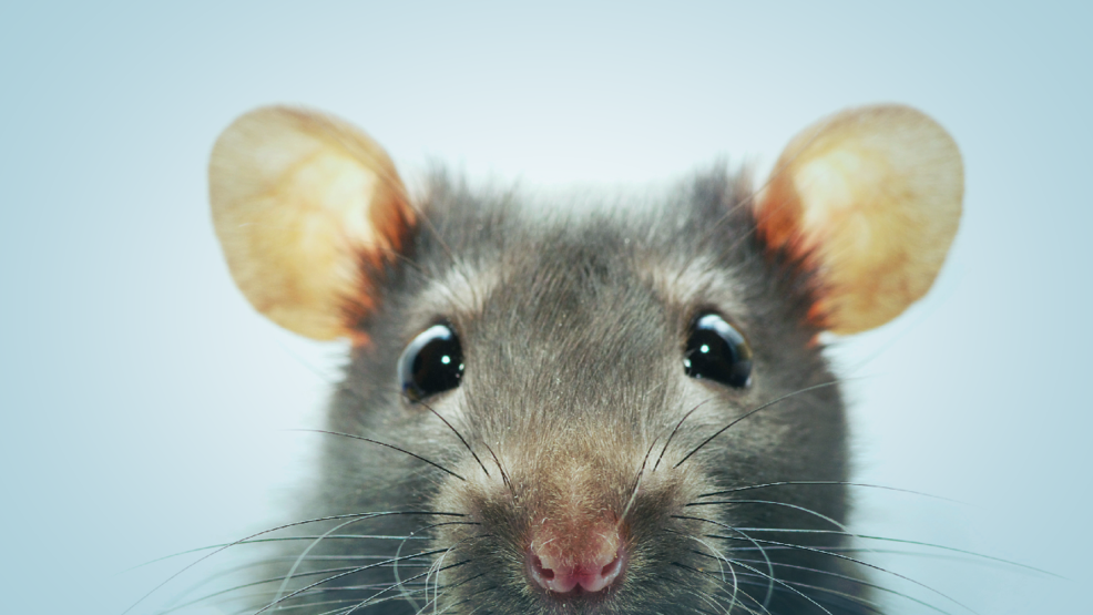 Study: Syracuse ranks in Top 50 U.S. cities for rats