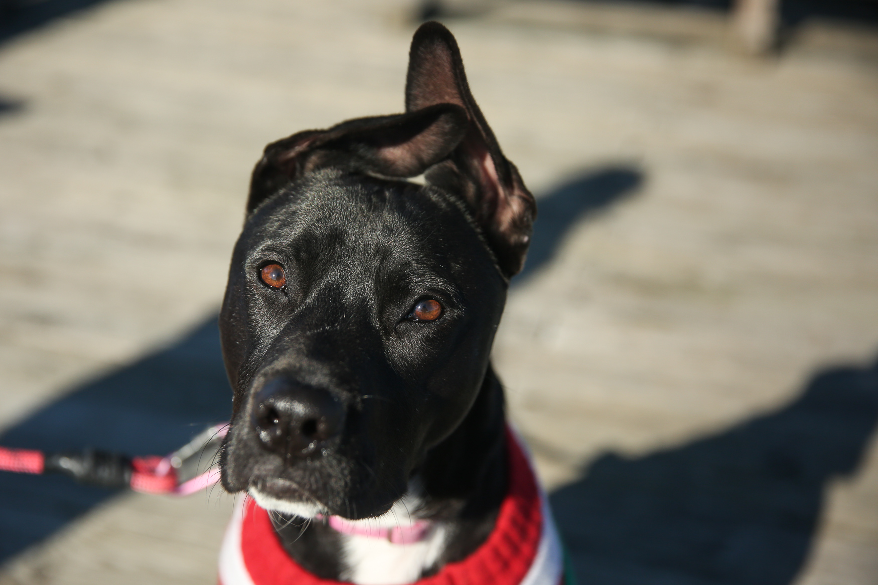"Meet Bobbi, a 1-year-old Pit Bull/Shepherd mix. Bobbi was a foster fail, as her parents adopted her after fostering her and three of her 11 litermates. Her mom said ""she was super crazy and kind of a bully, and I fell in love with her spunk and her ears!"" Bobbi loves getting the zoomies, eating marrow bones, chewing on anything plastic (especially if it's something she shouldn't have), annoying her big brother Ziggy and trying to make friends with the neighborhood cats -- unfortunately it's an unrequited friendship. She is not a fan of squirrels, baths, squirrels, swimming, squirrels, being told that she can't play every second of every day and did I mention squirrels? Bobbi's best skill is that she loves every person or animal that she meets -- except squirrels as they are the WORST! If you're interested in having your pup featured, drop us a line at aandrade@dcrefined.com (Image: Amanda Andrade-Rhoades/DC Refined)"