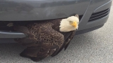 Bald Eagle rescued after hitting car in Florida