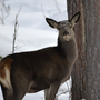 West Virginia bill would let dogs track wounded deer, bear