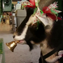 Goat helps to ring in holiday cheer