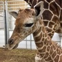 Giraffe born at Omaha zoo last month gets new name